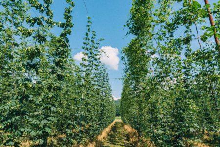 岩手県遠野市に広がるホップ畑とビールと。